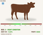body condition cattle calculator