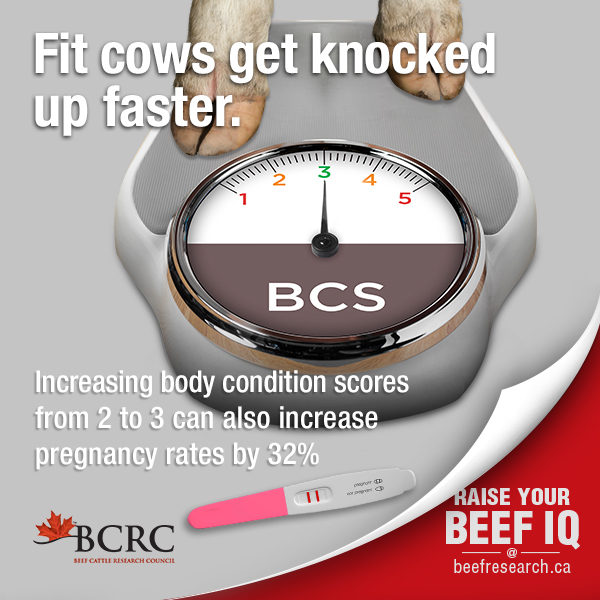 Increasing body condition scores from 2 to 3 increase pregnancy rates
