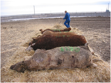 Initial lay out of carcasses on straw