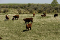 Cattle Nutrient Cycles